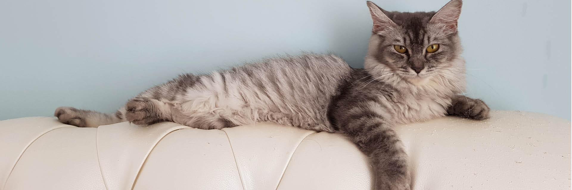 ledersofa, Katze